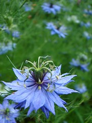 Nigella Flowers | by aussiegall