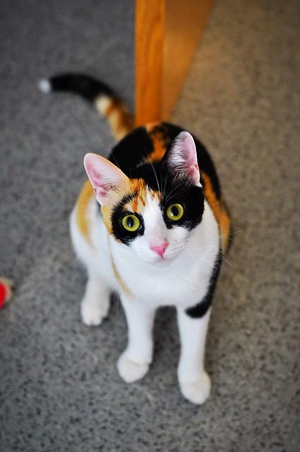 Ishtar, gatita tricolor Calicó súper cariñosa y juguetona esterilizada, nacida en Julio´17, en adopción. Valencia. 29765561208_b503e4b740_z
