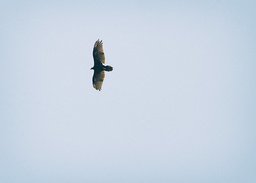 ridgefield-wildlife-refuge-turkey-vulture | by Outback Tales