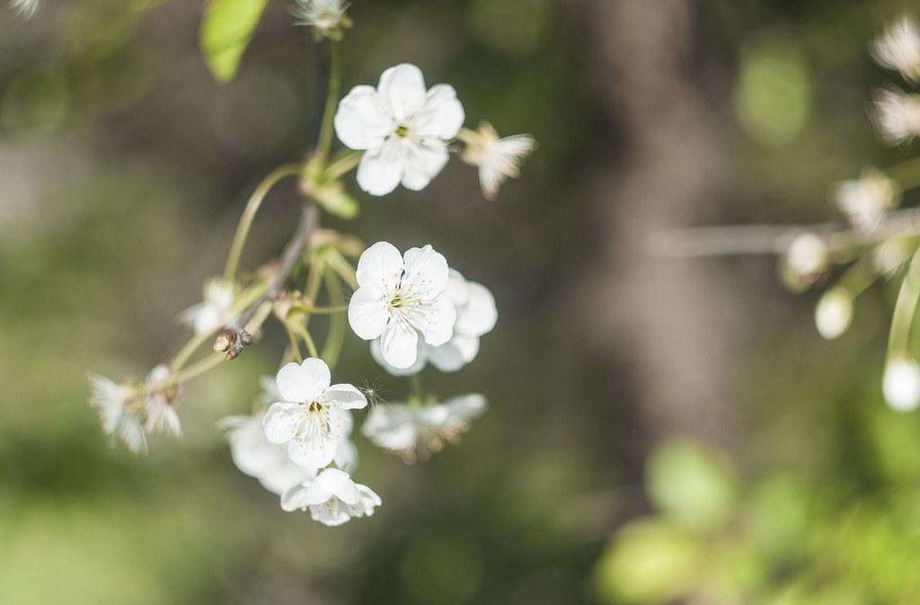 drobne białe kwiaty na rozmytym tle | Helios