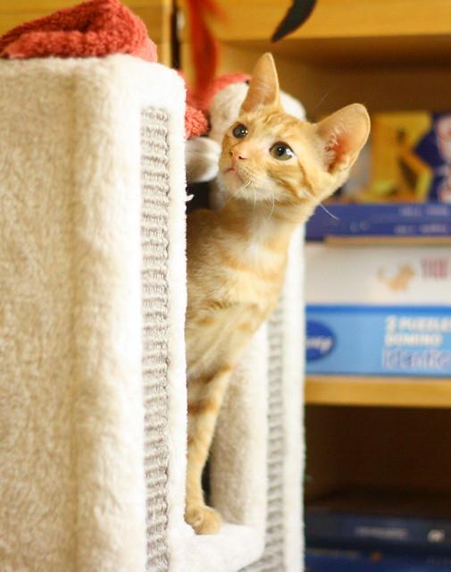 Rohit, gatito naranja cojito súper dulce y bueno, nacido en Abril´18, en adopción. Valencia. RESERVADO. 43188747904_8363c83ffa_z
