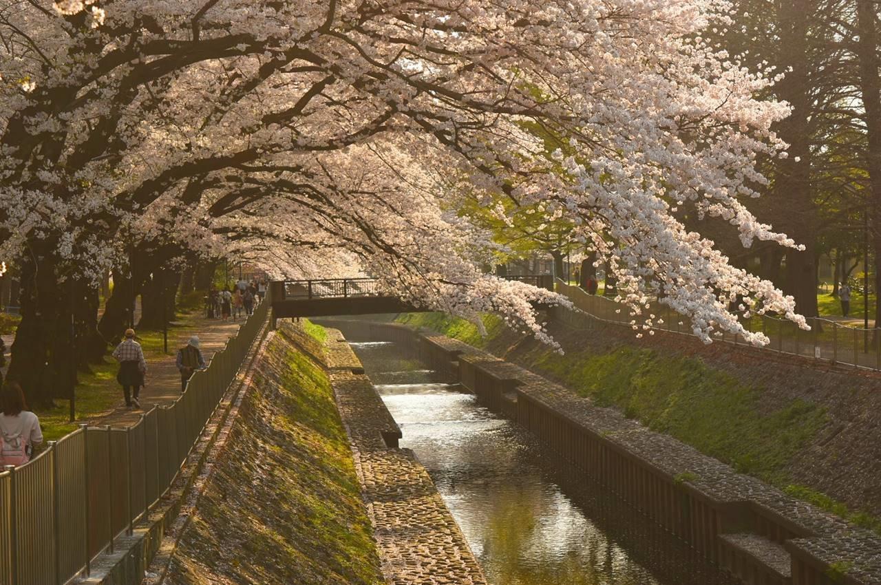 善福寺川緑地公園の桜風景
