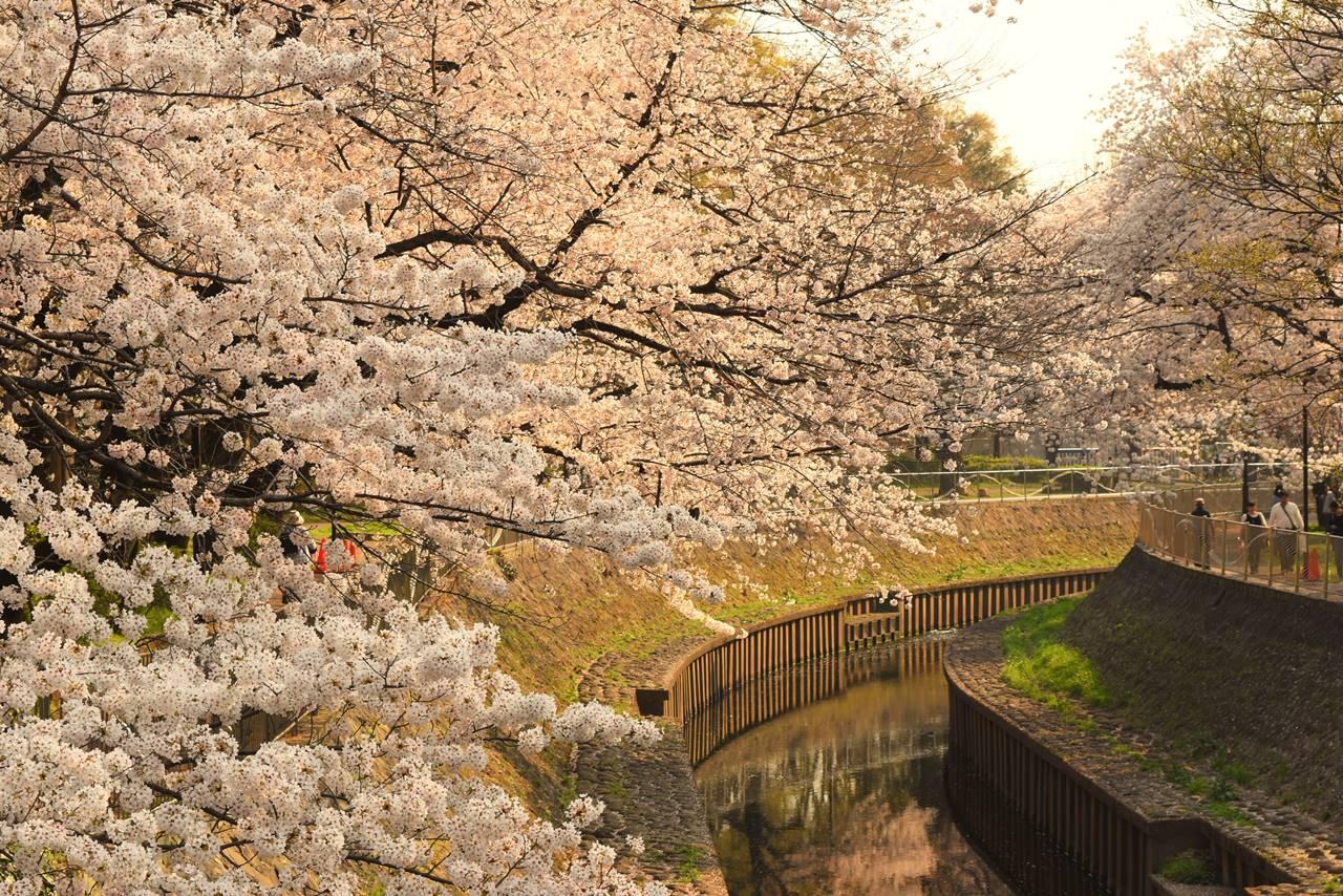 善福寺川緑地の桜並木