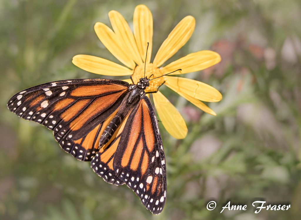 ... Monarch Butterfly   By Anne Marie Fraser