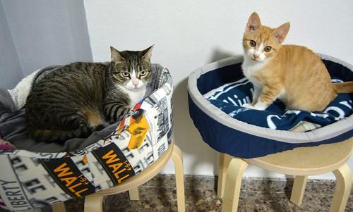Rusty, gatito blanco y naranja adorable nacido en Diciembre´17, en adopción. Valencia. ADOPTADO. 41196813021_fd5b72048a