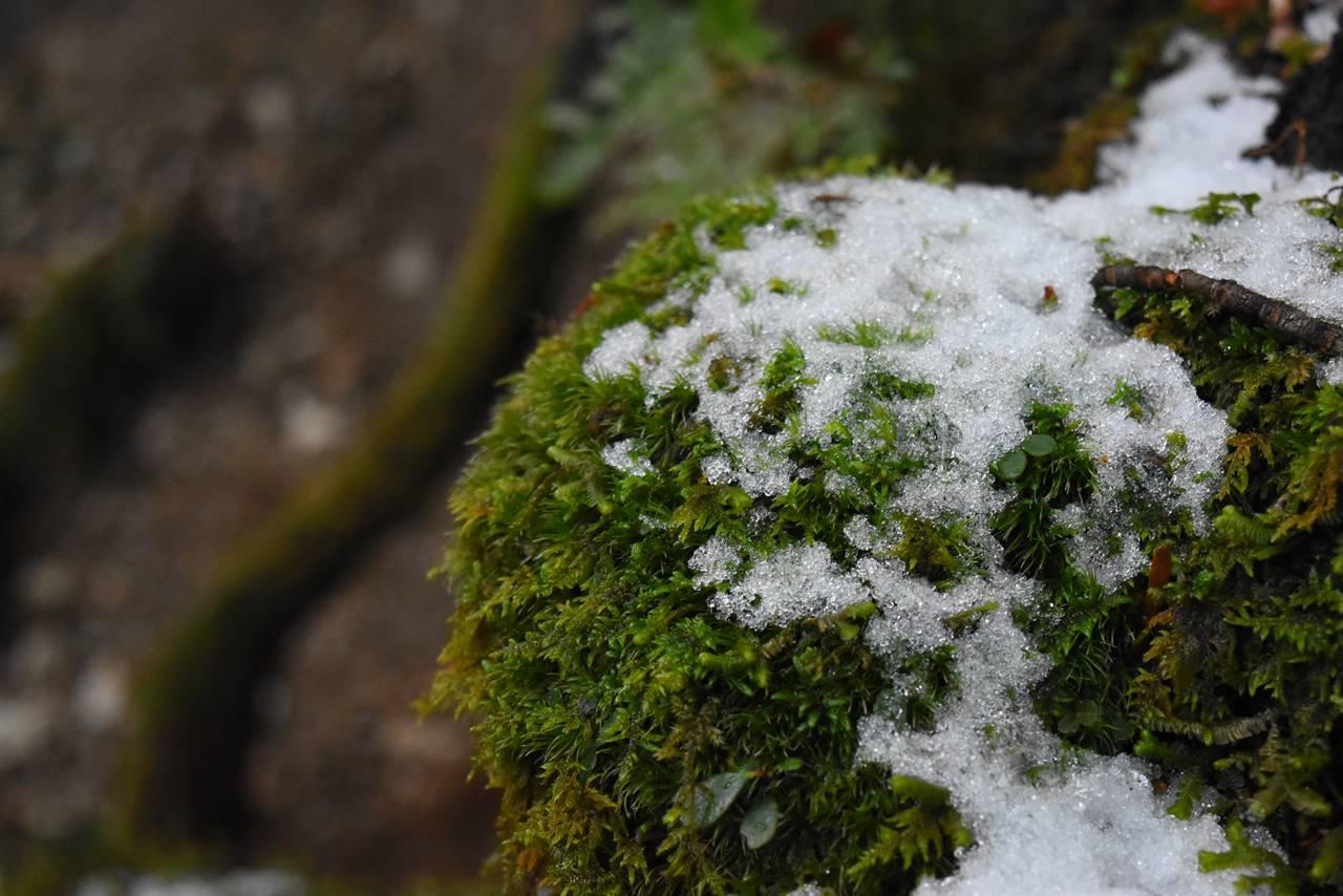 屋久島 苔と雪