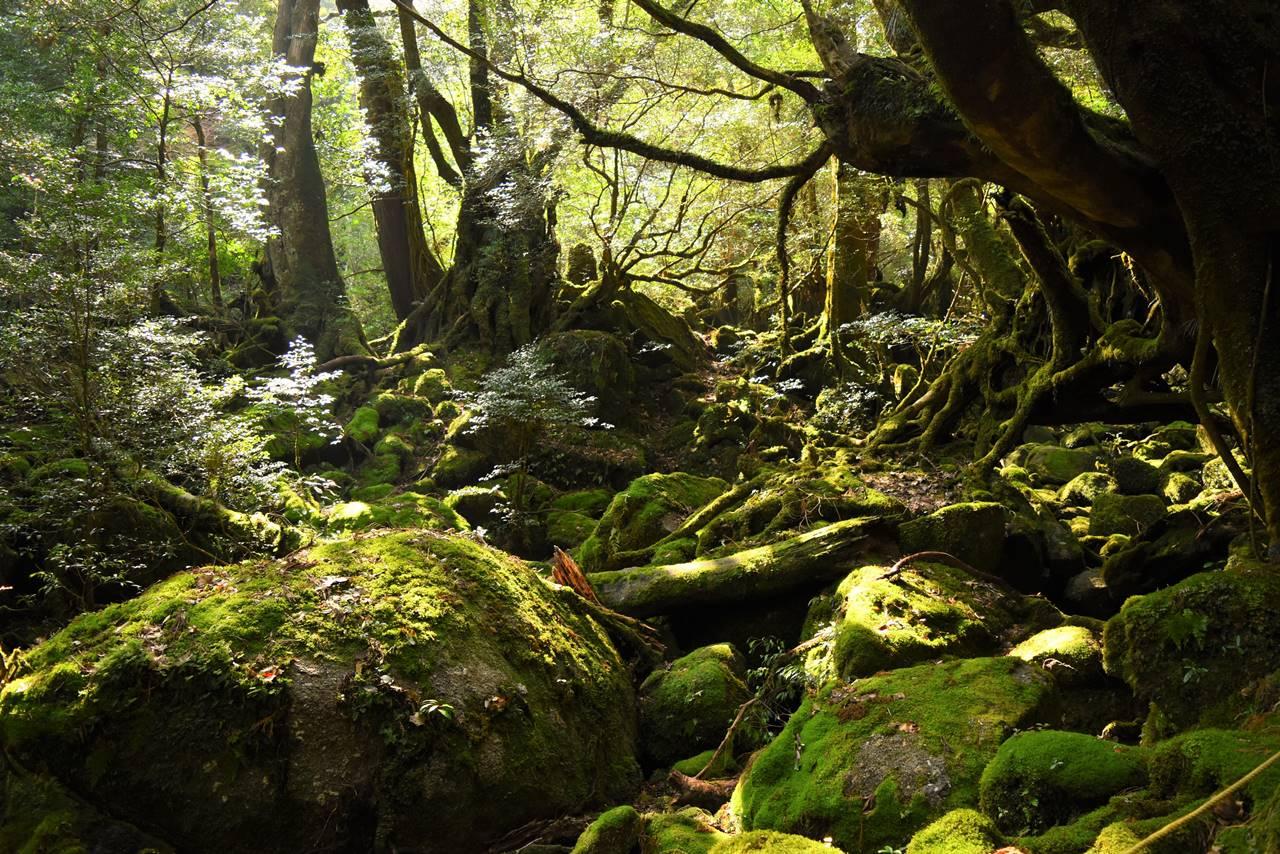 屋久島・白谷雲水峡の苔むす森