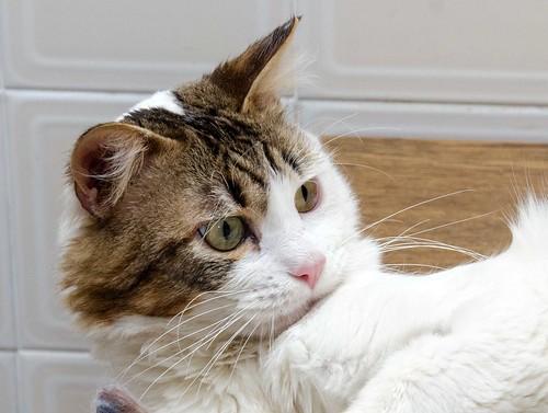 Aquiles, gato cruce Van Turco noble y buenísimo esterilizado, nacido en Enero´16, en adopción. Valencia. ADOPTADO. 41451534472_39198f517e