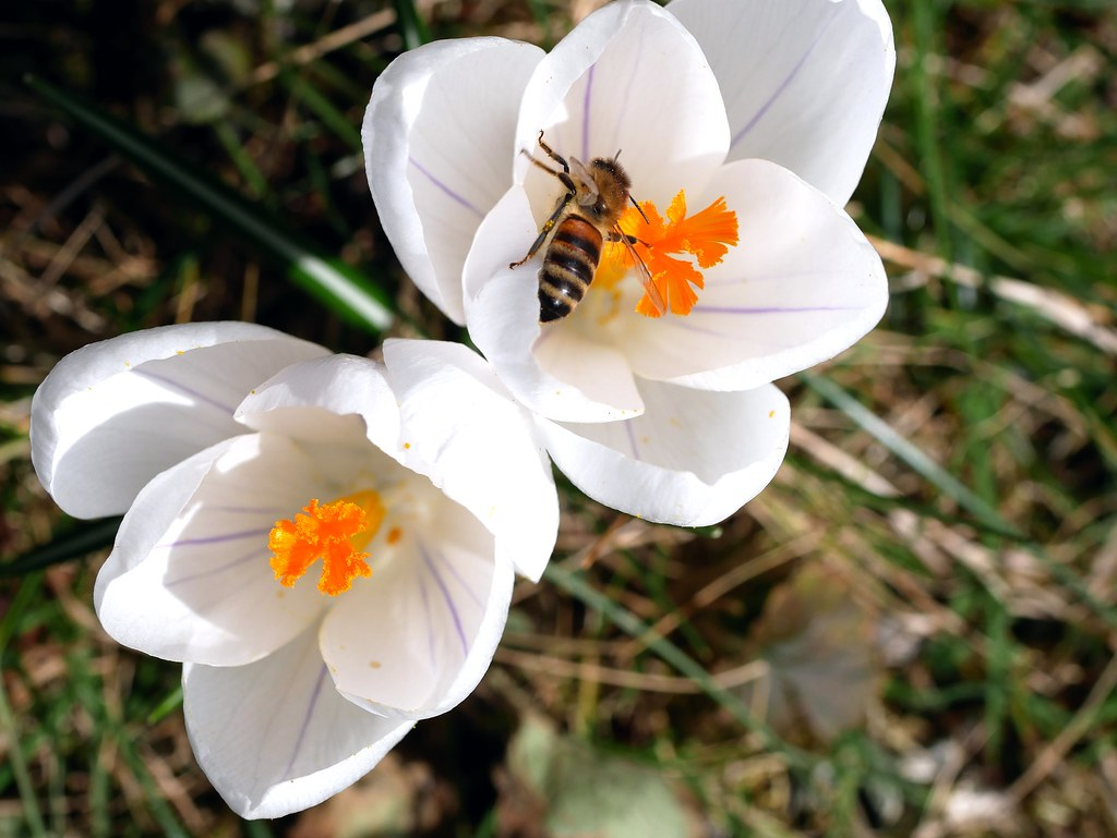 A honey bee inspecting a white crocus flower this plant i flickr by bienenwabe a honey bee inspecting a white crocus flower by bienenwabe mightylinksfo