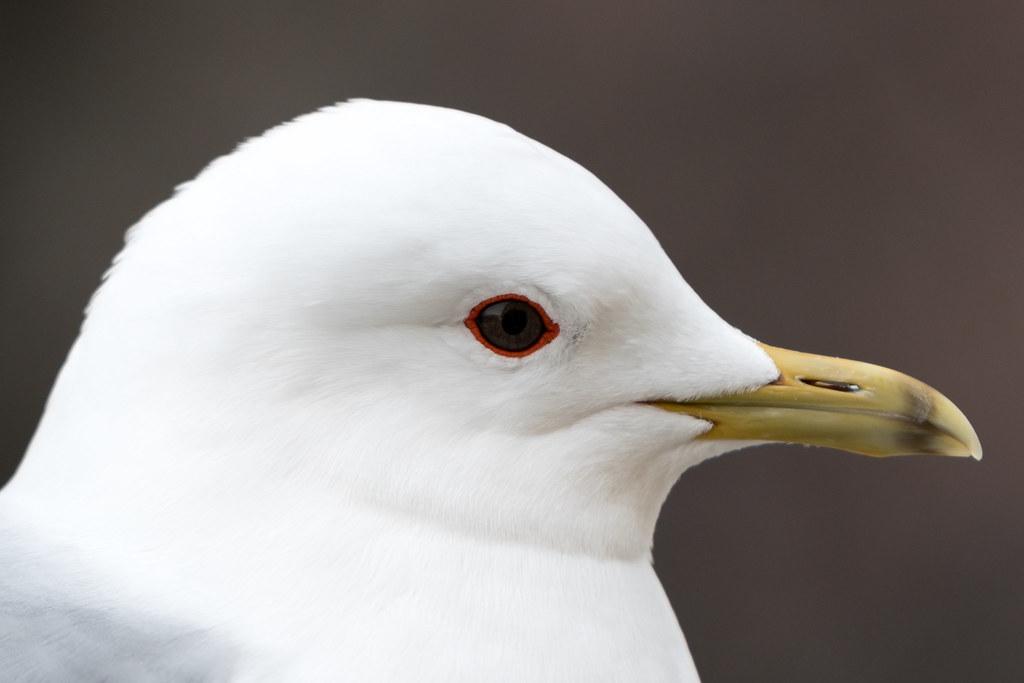 Female seagull - photo#36