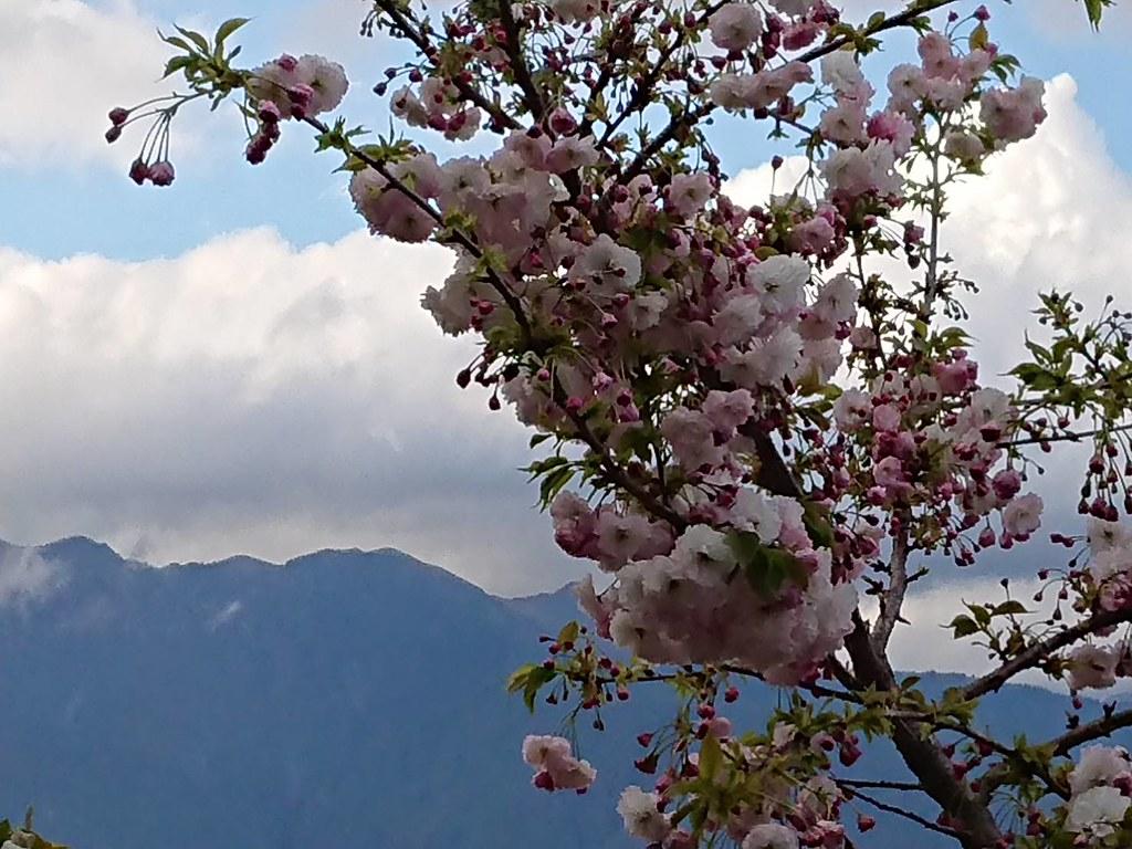 藍天...白雲...高山 粉粉櫻花