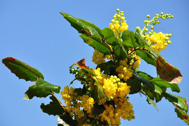 April 2018 ... Gewöhnliche Mahonie (Mahonia aquifolium) mit Holzbienen ... Foto: Brigitte Stolle