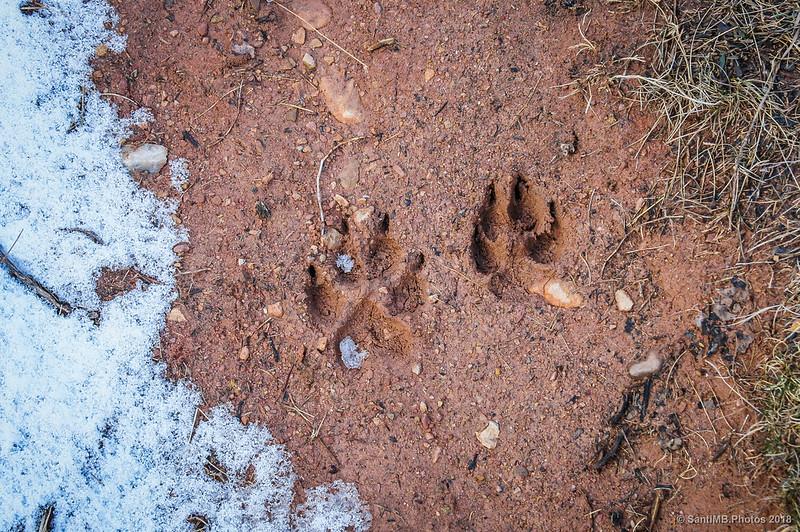 Pisadas de perro (¿o lobo?) cerca de la Pleta de la Vila