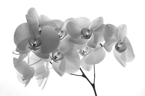 Orchid X-Ray