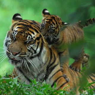 Cubs will be cubs...  - Sumatran Tigers @ Washington DC / US National Zoo | by Nikographer [Jon]