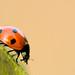 Ladybird... walking on by