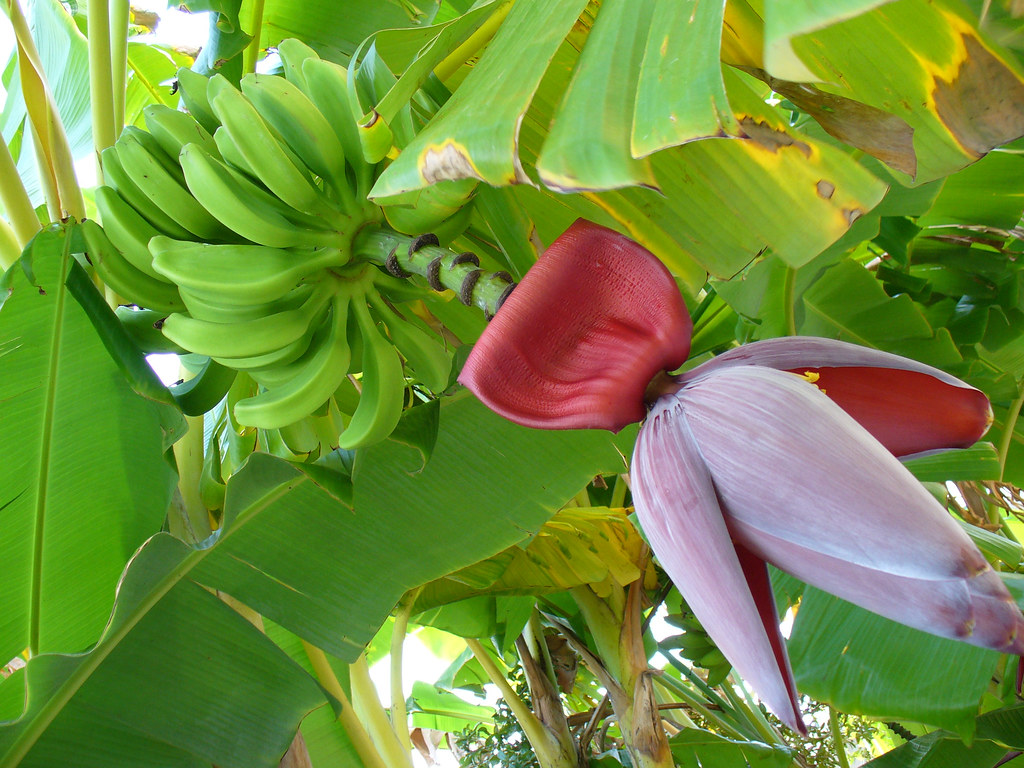 Banana Tree | A bunch of green bananas and the red flower ...