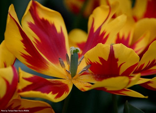 Red and Yellow tulip | by Tatiana Faber