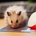 Hamster meets Mouse