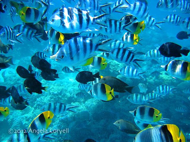 Bora bora reef fish flickr photo sharing for Bora bora fish