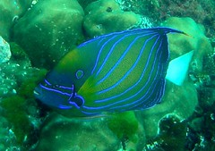 Ring Angelfish Indian Ocean Version