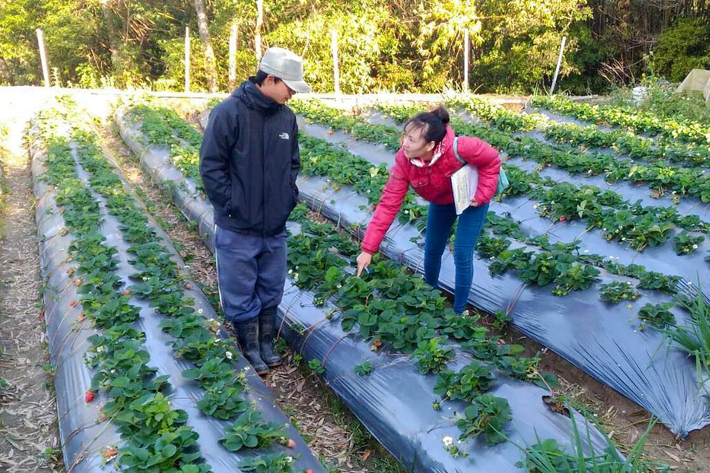 苗栗縣實習植物醫師提供草莓農友精準建議