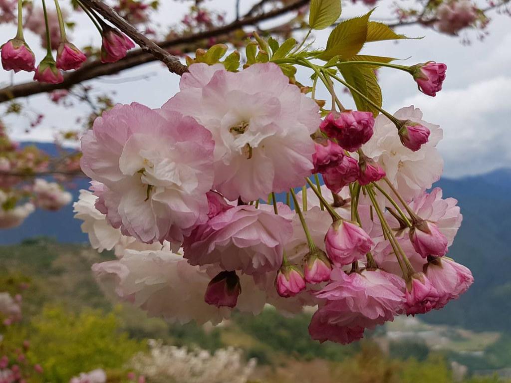 粉嫩嬌艷櫻花