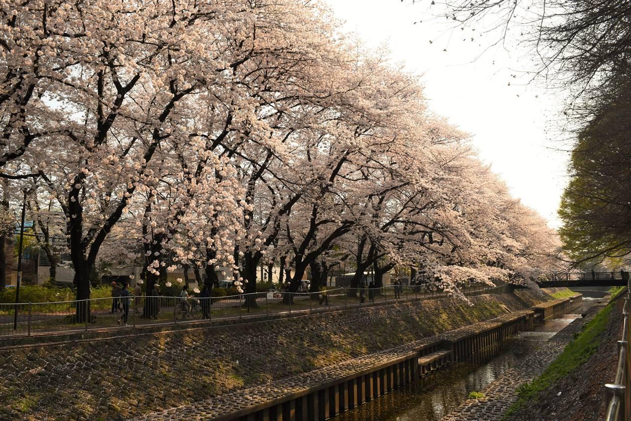 東京都杉並区・善福寺川緑地公園の桜並木