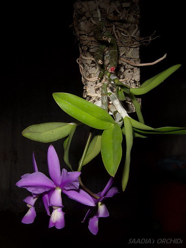Cattleya nobilior | by TwilightShadow