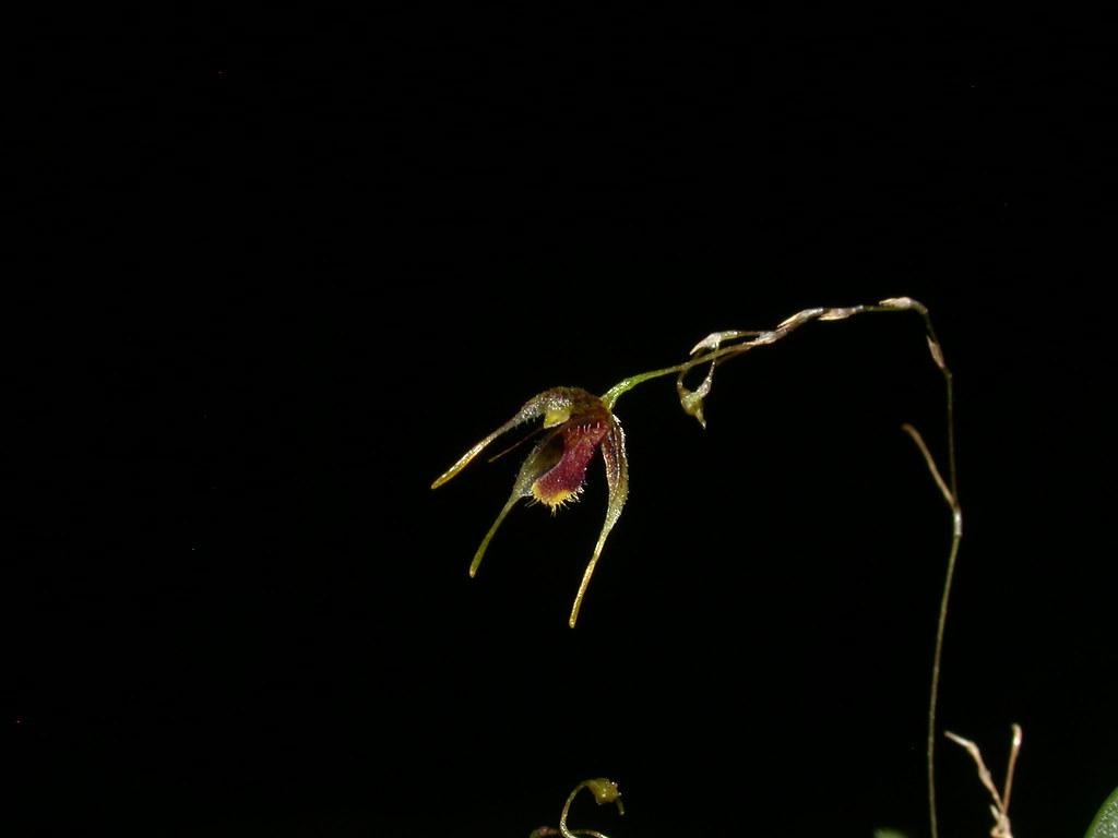 Miniatur-Orchideen Teil 4 - Seite 6 41323947851_51b91db87b_b