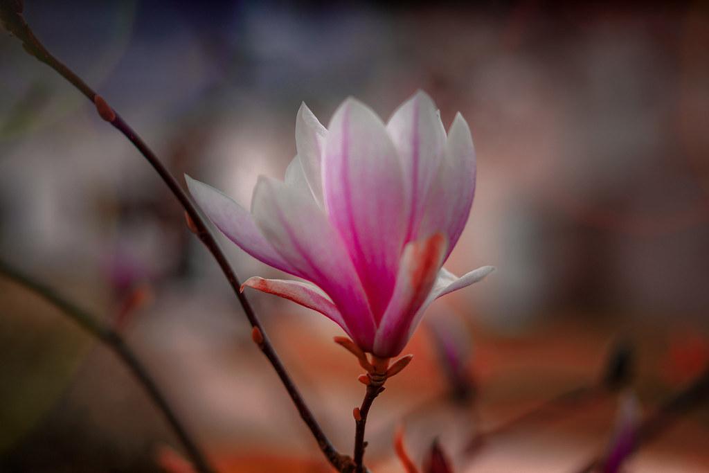 Fleur De Magnolia Sony A7r3 Pentacon 50mm F 2 8 J Francois Renard