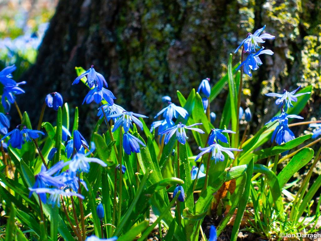 First spring flowers in bloom lovely blue scilla siberica flickr first spring flowers in bloom by ian darragh mightylinksfo