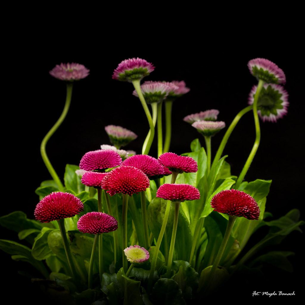 Dancing daisies magda banach flickr dancing daisies by magda banach dancing daisies by magda banach izmirmasajfo