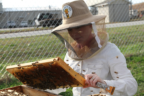 Emily  Muehlenfeld  examines  honey  bees  in  a  bee  hive