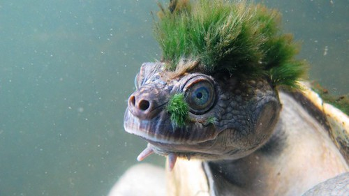 Please admire this turtle who looks like a punk | by stevensternblog