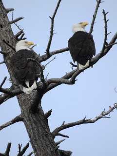 april 3 2018 16:01 - Eagles in The Babysitting Tree | by boonibarb