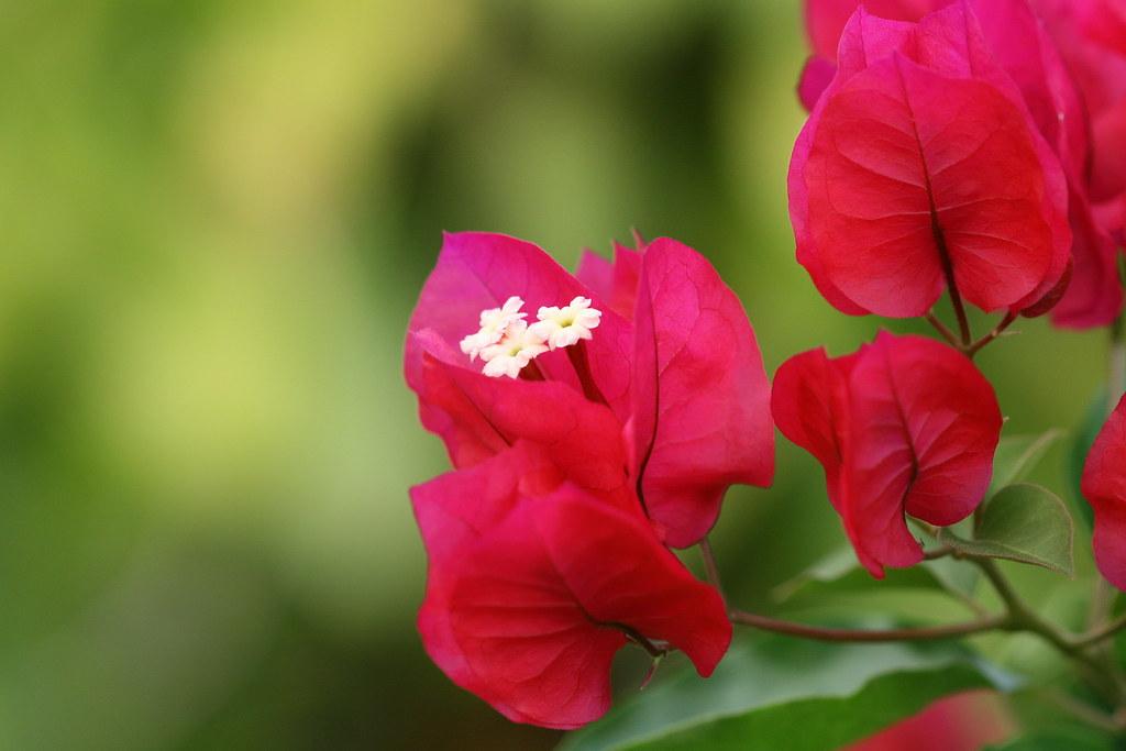 Fleurs de Bougainvillier du jardin à Tahiti | Cette variété … | Flickr