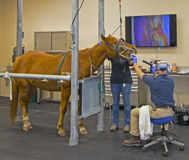 Dr. Fred Caldwell uses an equine dental endoscope to examine a horse's oral cavity and teeth.
