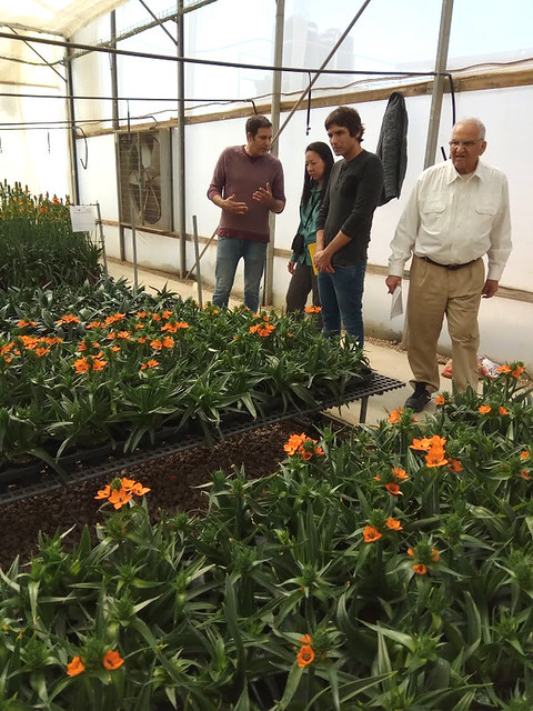 Inspection of Ornithogalum dubium (Star of Bethlehem) in Israel