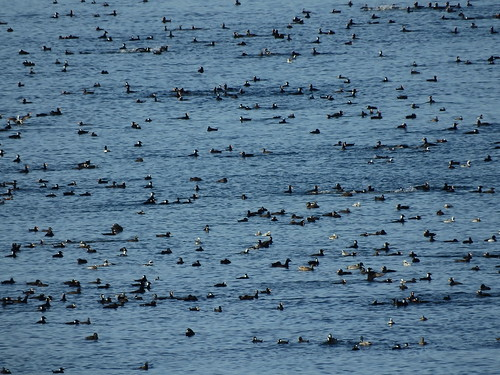 march 9 2018 13:57 - Sea Birds during Herring Spawn | by boonibarb