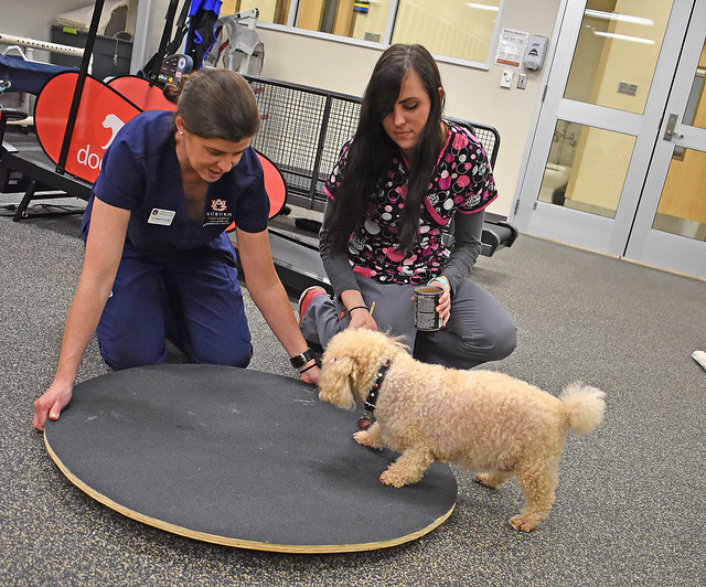 Canine rehabilitation practitioner Liz Hodson and Stephanie Siegwald, a fourth-year veterinary student and Poochie's adoptive owner, take the poodle through some exercise routines