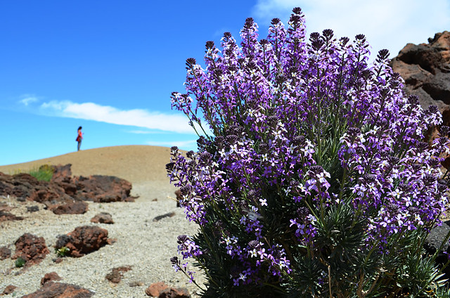 Teide Wallflower, Teide National Park, Tenerife