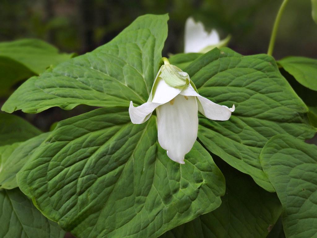 Melanthiaceae Trillium Simile Sweet White Trillium Flow Flickr