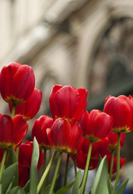 Czerwone tulipany w Brukseli 2