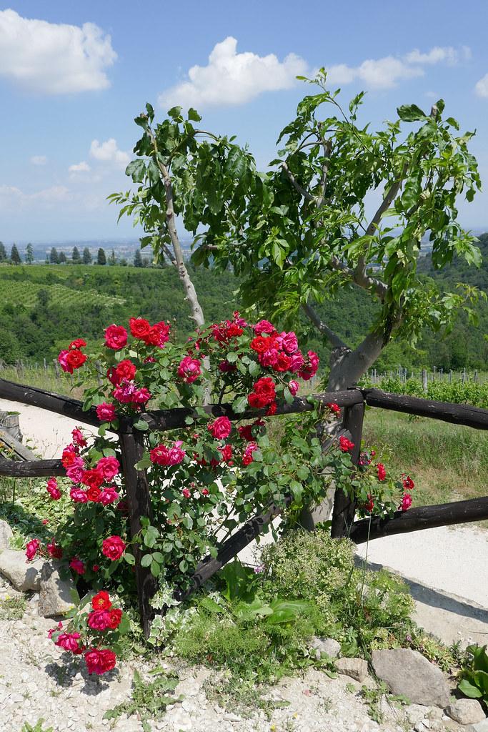 608 Rosen Am Zaun Gertraud Flickr