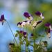 More Violas in June