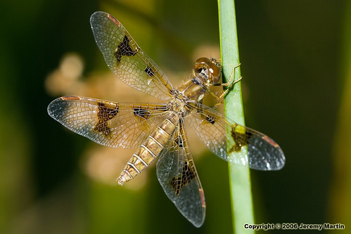 Eastern Amberwing Female | by Jeremy Martin