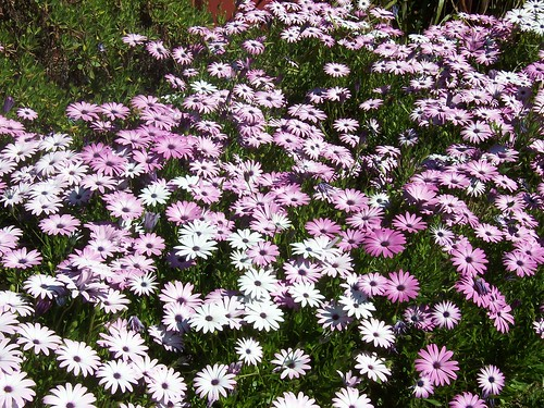Purple & white daisies | by Spikebot