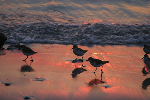 Plovers at sunset | by mikecullivan