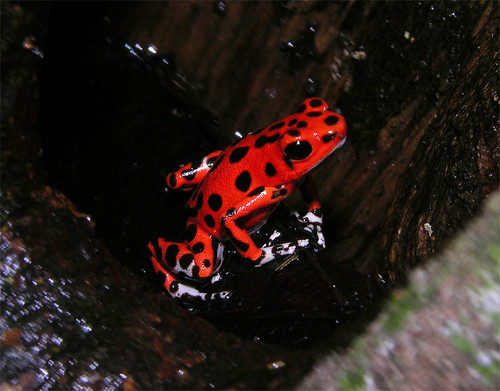 Famous strawberry poison-dart frog from the Red Frog Beach, Panama | by Arthur Anker